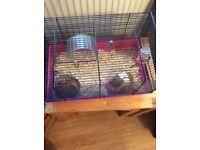 Lovely hamster needs a loving home