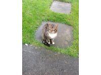 Tabby cat found in skewen neath