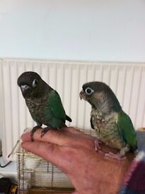 Hand reared baby green cheek conures