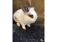 Lion head rabbit with white and brown patch male