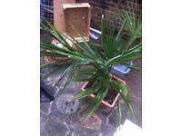 Fabulous WindMil palm Trachycarpus fortunei Ten large Cyclamen Bulbs FREE FREE Wallington Surrey