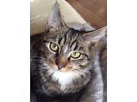 Missing Marley - grey tabby with four white socks