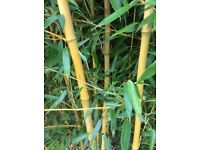 Bamboo Phyllostachys Aureosulcata f Auracaulis Large 50 Litre size Plants For Sale.