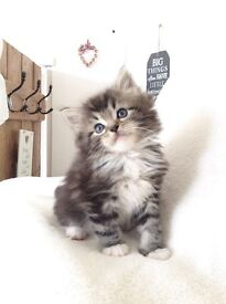 Silver Lynx tabby Maine Coon x baby kittens!x