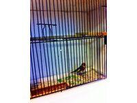2015 goldfinch cock bird very good singer