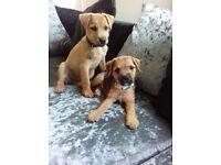 Girl border terrier pup