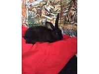Black Rex rabbit babies for sale