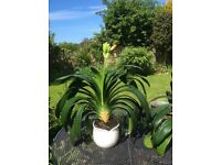 3 Houseplant Clivia for sale