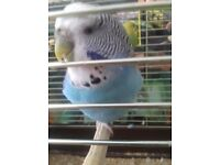 lost blue budgie!!!my daughter is distraught