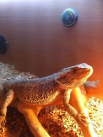 Bearded Dragon can come with setup