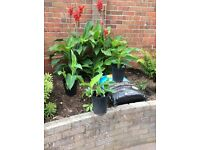 3 red cannas in 3 litre pots