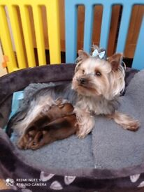 Miniature Colored Yorkies Puppies