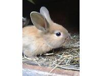 Lionhead/Rex rabbits