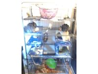 Two adorable female chinchillas with their large cage for sale
