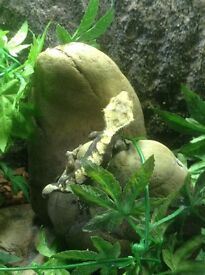 Crested male gecko.