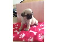 Beautiful 8weeks old pug puppies fro sale two boys and one girl