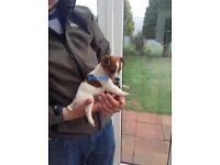 Ready now Gorgeous tri coloured jackrussel puppy's only four left