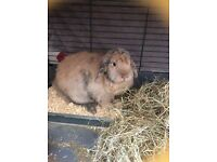 House bunny for sale £60 all incl.