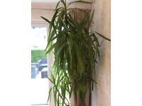 Yucca plant, very healthy, 8ft tall needs bigger home