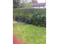 18 x 4.5ft green hedging conifers. Grows to 8x2ft.