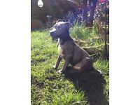 Blue Staffordshire bull terrier puppy
