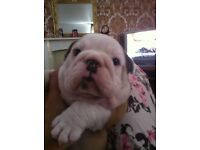 British bulldog puppy for sale