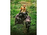 Collie-Mastiff puppies £450