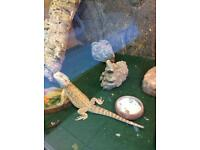 Vivarium with all accessories and young bearded dragon