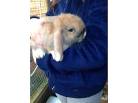 Young lop eared rabbits for sale - just 1 left