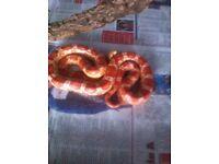 Corn snake with setup