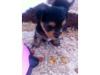 Pedigree Yorkshire puppies for sale