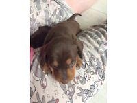 Miniature dachshunds puppy, PRA clear