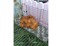 Two male abbysinian Guinea pigs