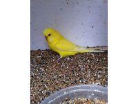 Beautiful red eye yellow baby budgies