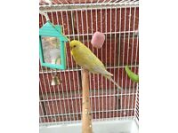 Male budgie with cage and accessories for sale