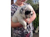Bulldog puppy's for sale