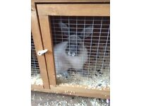 2 beautiful female rabbits, they are best friends, they come with everything and brand new hut.
