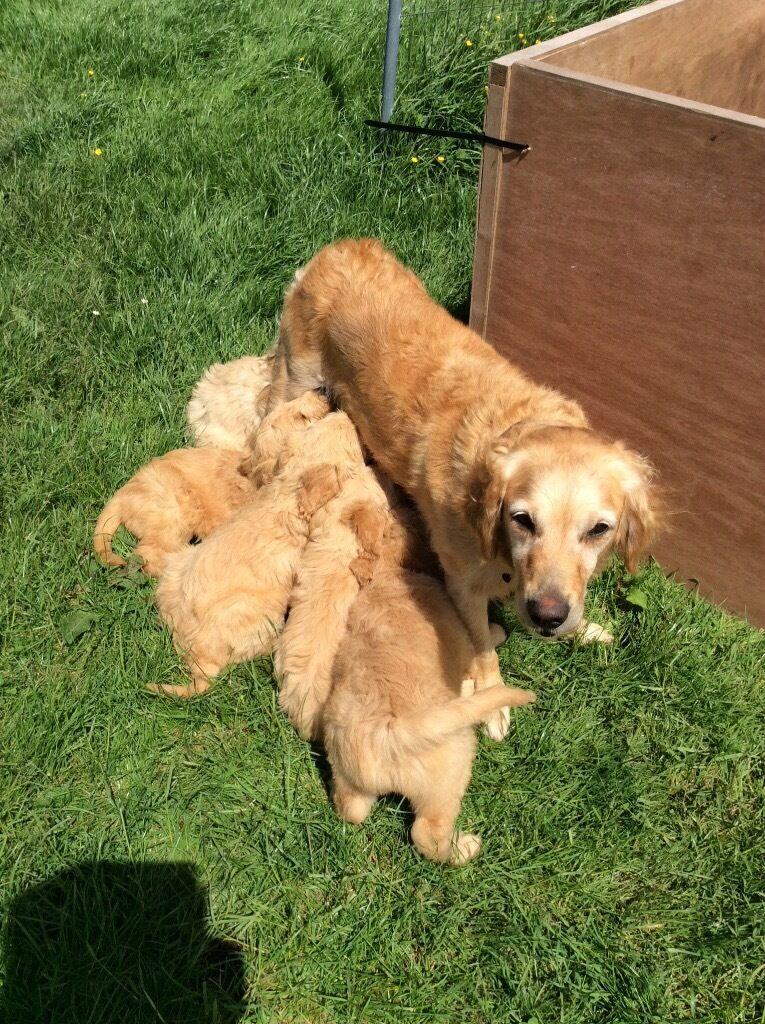 Golden Doodle pups F1 from KC reg parents - ready now | in