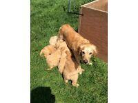 Golden Doodle pups F1 from KC reg parents - ready now
