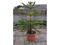 Very good pot grown monkey puzzle tree 6 foot plus.