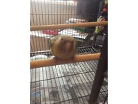 Pineapple Conure Parrot