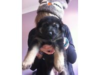 2 gorgeous german shepherd puppies for sale (LOVING FAMILY ONLY PLEASE) ROMFORD