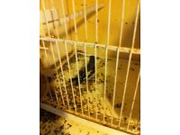 Baby goldfinches for sale
