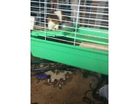 Free male and female Guinea pig with cage and food