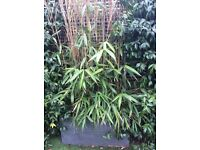 Bamboo in troughs