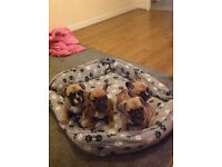 *REDUCED* Tan/ fawn French bulldog puppies