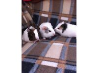 Baby males guinea pigs