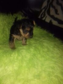 Gorgeous Yorkie puppies £350 Only one boy left !!