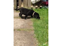 Two Black Labrador Puppies - One Male, One Female