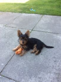 Yorkshire terrier pup,11 weeks old, full pedigree,all vaccines